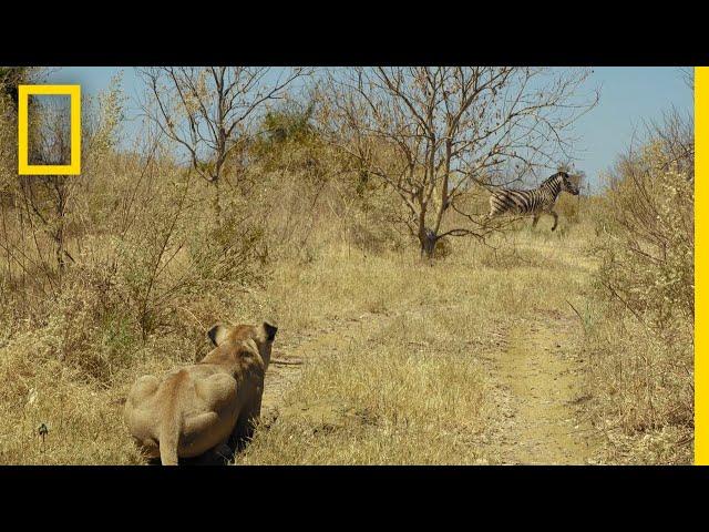 Lions Hunt Zebra   Savage Kingdom
