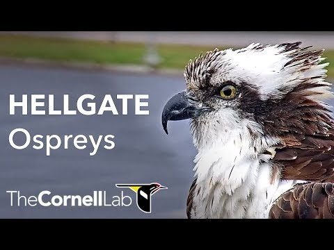 Cornell Lab | University Of Montana Hellgate Ospreys Offseason View