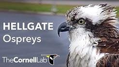 Iris has returned! Watch Live: Hellgate Ospreys Nest Cam  Cornell Lab   University of Montana