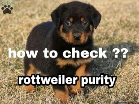 Rottweiler purity how to check ?? In hindi || dogs biography