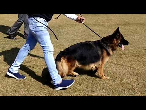 The Dog Show In DELHI 2018..German Shephard, want to buy Mb: 7404011122-9728644404 DOGGYZ WORLD