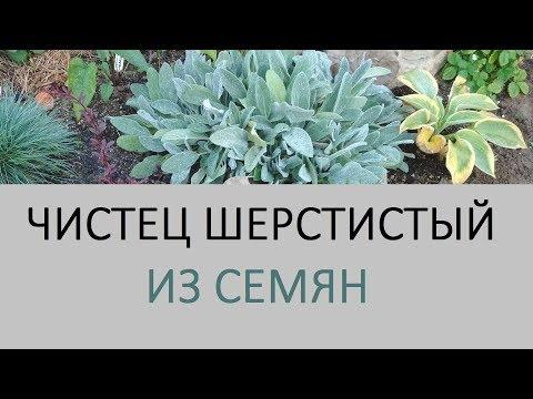 Чистец Овечьи ушки - растение которое меня удивило