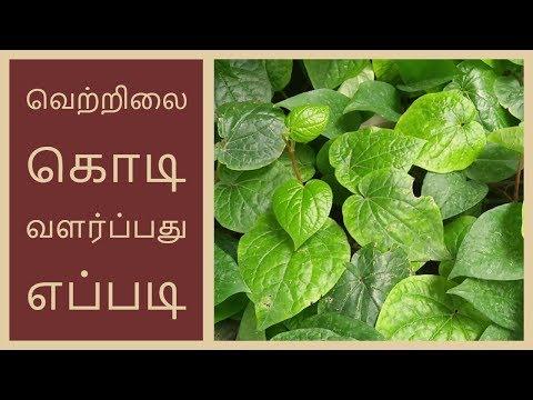 வெற்றிலை கொடி வளர்ப்பது எப்படி ?| How to Grow betel Leaf in tamil |