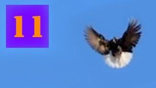 Голуби Крыма, Алексей Василишин, Евпатория (11)(+79780085391 #Крым, Евпатория, Лётные Голуби#, 2016-01-24T16:29:37.000Z)