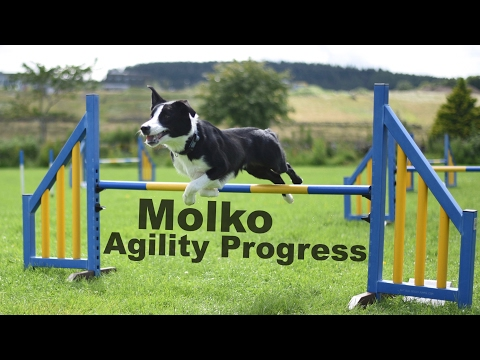 Border Collie Molko - Agility Progress 2016