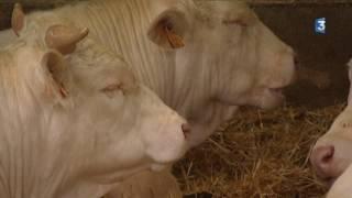 400 vaches de Normandie vont prendre l'avion pour l'Iran