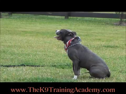 The K9 Training Academy - China a Pit Bull with Basic Obedience