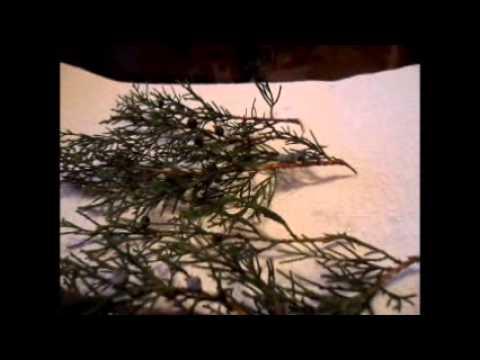 Размножение сосны черенками, условия для выращивания