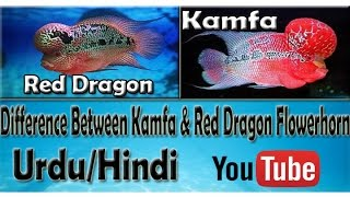 How To Difference Between Kamfa & Red Dragon Flower-Horn Urdu/Hindi