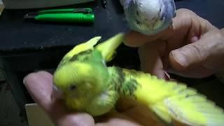ペットミッキンは福岡県の手乗りのインコ、手乗り文鳥の専門店です。 ht...