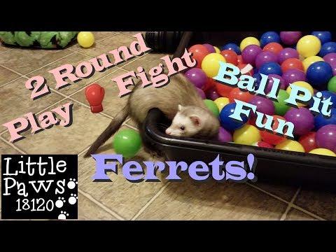 Monday Ferret Playtime, Playpen Fun