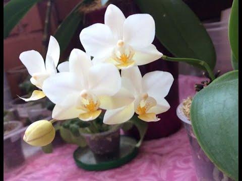 Необыкновенный подросток , новый сорт Soft Cloud (Обзор орхидеи)