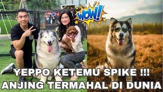 Akhirnya Ketemu Spike Si Anjing Termahal Di Dunia | Ft. Ezron Tarigan | Felicya Angellista