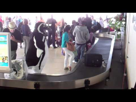 Maria the Magellanic Penguin Arrives in Long Beach
