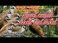 Suara Burung Trucukan Ribut  Mp3 - Mp4 Download