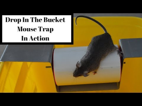 how to catch mice in a bucket