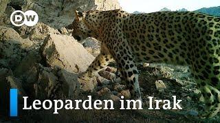 Irak: Schutzgebiet für den persischen Leoparden   Global Ideas