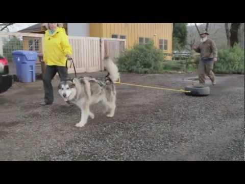 Urban GO Dogs -- Urban Mushing Training Preview.mp4