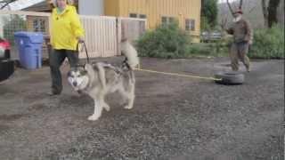 Urban Go Dogs -- Urban Mushing Training Preview.mp4