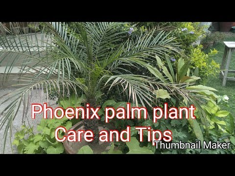 How to Care Phoenix palm plant |Urdu Hindi