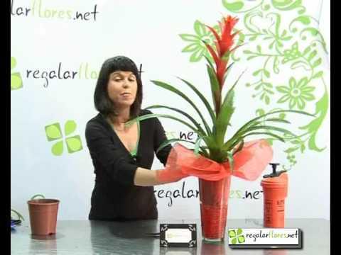 Como cuidar las plantas - Cuidado de la planta Guzmania