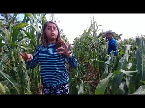 Enseñando a Nayeli como se trabaja en el campo. La doblada de nuestra milpa. Parte 3