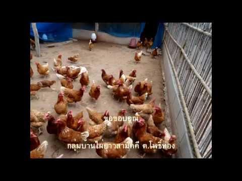 การเลี้ยงไก่ไข่เสริมไอโอดีน