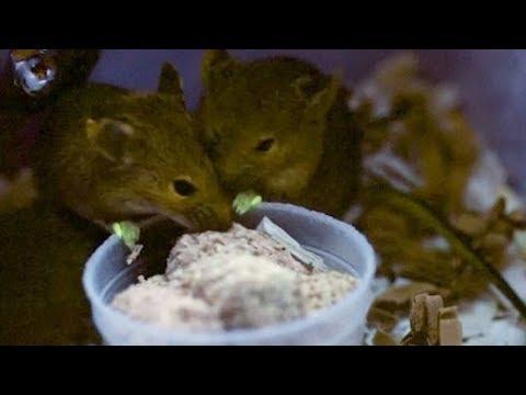 Fluoreszierende Forschung: Mäuse mit grünen Füßen