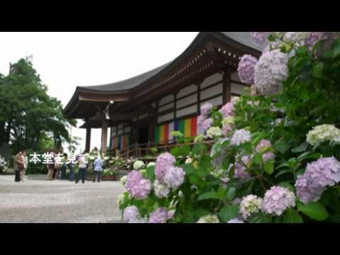 能護寺の紫陽花