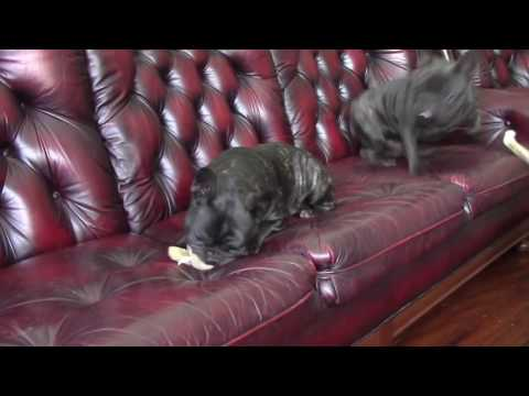 French Bulldogs Playing Funny Frenchies   French Bulldog Tricks
