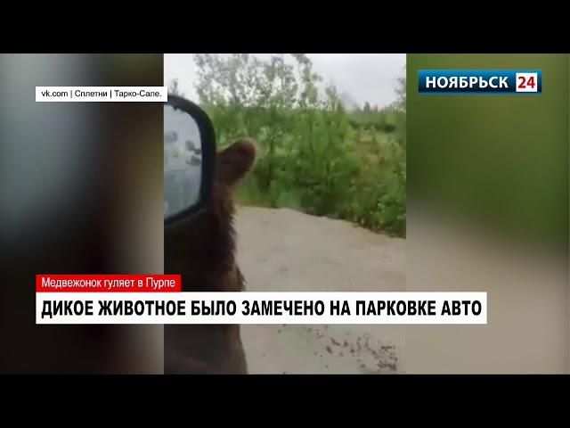 На Ямале медведи продолжают искать общения с людьми