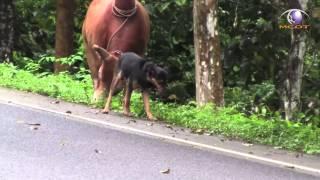 Repeat youtube video ข่าว เจ้าสิงห์สุนัขแสนรู้จูงวัวชนเพื่อนเลิฟ ออกกำลัง