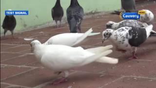 மாநில அளவிலான புறா பந்தயம்  | Cauvery News