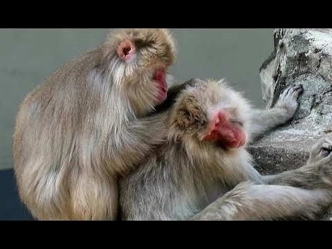 Monkey grooming each other