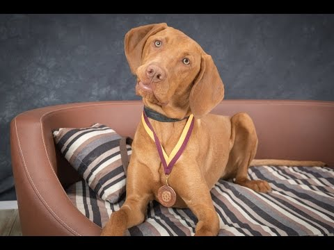 Oscar - Hungarian Vizsla - 2 Weeks Residential Dog Training