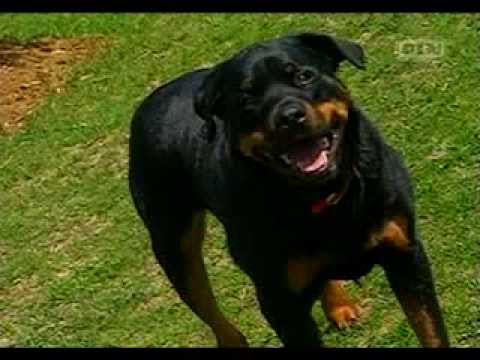 ultimate-dogs---highly-trainable-(rottweiler)