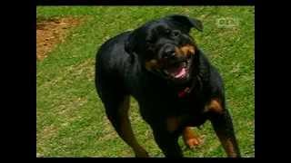 Ultimate Dogs - Highly Trainable (rottweiler)