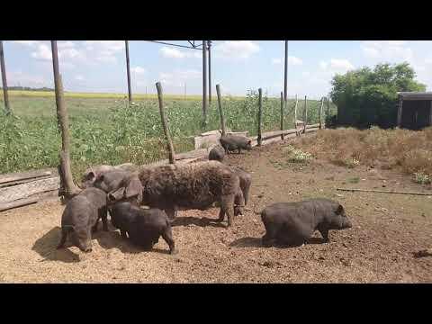 Вьетнамские свиньи на мясо без химии Украина Харьков 0675736455