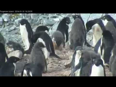 Video Chat With Antarctic Scientists at Penguin Colony