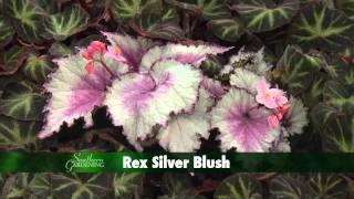 Holiday Rex Begonia, Southern Gardening TV - November 28, 2012