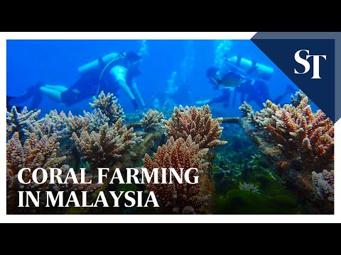 Coral farming in Malaysia   The Straits Times