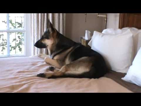 My German Shepherd Takes Over The Bed Youtube