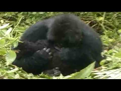 Answer The Call - Help save gorillas in central Africa