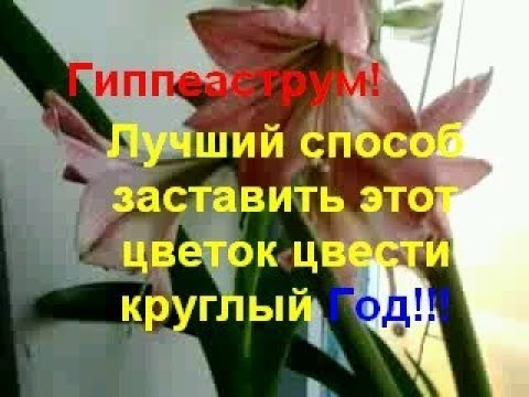 Гиппеаструм! Лучший способ заставить этот цветок цвести круглый Год!!!