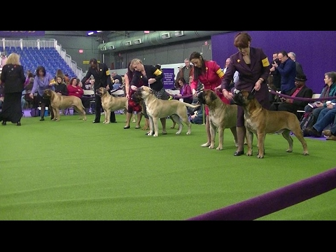 Bullmastiff Westminster dog show 2017 a