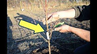 Сделайте это со сливой осенью в октябре и сентябре для мощного урожая на следующий год!