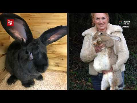 Giant rabbit, destined to be world's biggest, dies on United Airlines flight