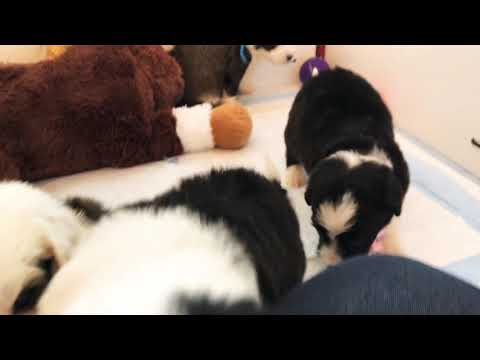 Banks and Poppins' F1 Standard Sheepadoodle Puppies 4 weeks old