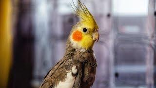 Из жизни моего попугая
