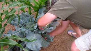 Green Garden HARVEST: How to Harvest Broccoli